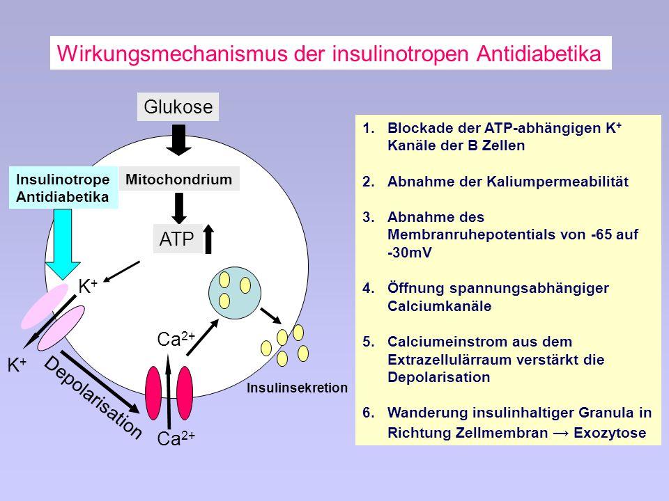 1.Blockade der ATP-abhängigen K + Kanäle der B Zellen 2.Abnahme der Kaliumpermeabilität 3.Abnahme des Membranruhepotentials von -65 auf -30mV 4.Öffnung spannungsabhängiger Calciumkanäle 5.Calciumeinstrom aus dem Extrazellulärraum verstärkt die Depolarisation 6.Wanderung insulinhaltiger Granula in Richtung Zellmembran Exozytose Glukose Mitochondrium ATP K+K+ K+K+ Ca 2+ Depolarisation Insulinsekretion Wirkungsmechanismus der insulinotropen Antidiabetika Insulinotrope Antidiabetika