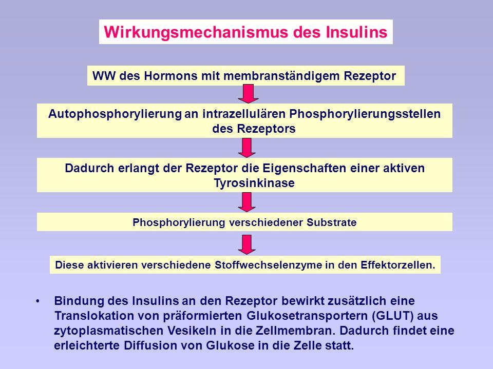 Wirkungsmechanismus des Insulins Bindung des Insulins an den Rezeptor bewirkt zusätzlich eine Translokation von präformierten Glukosetransportern (GLUT) aus zytoplasmatischen Vesikeln in die Zellmembran.