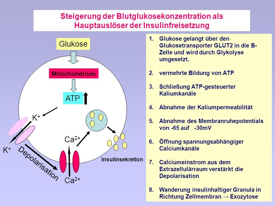 Steigerung der Blutglukosekonzentration als Hauptauslöser der Insulinfreisetzung 1.Glukose gelangt über den Glukosetransporter GLUT2 in die B- Zelle und wird durch Glykolyse umgesetzt.