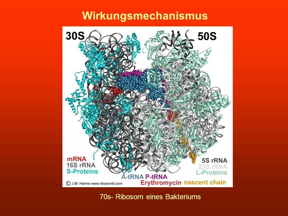 Wirkungsmechanismus 70s- Ribosom eines Bakteriums