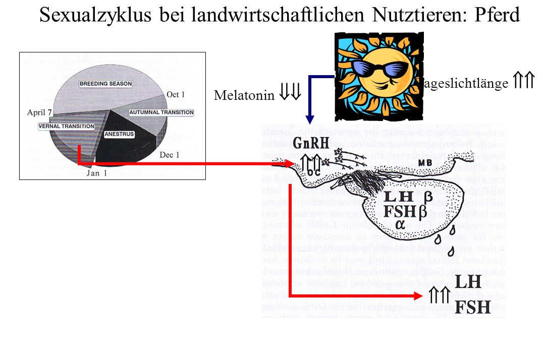 Sexualzyklus bei landwirtschaftlichen Nutztieren: Pferd Tageslichtlänge Melatonin