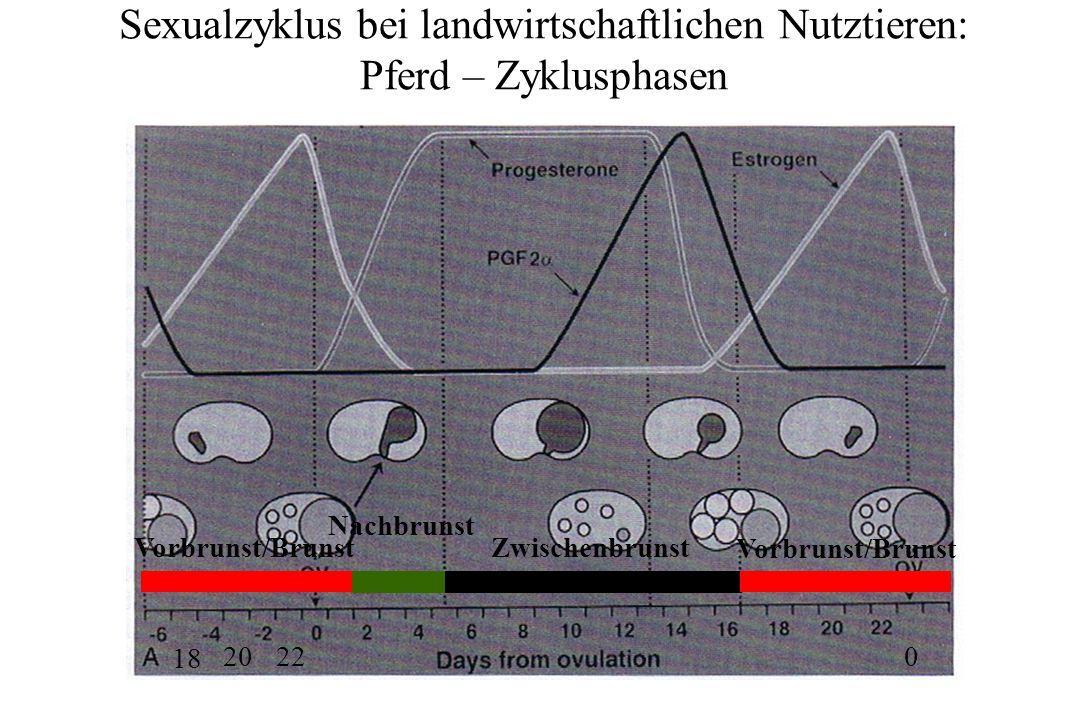 Sexualzyklus bei landwirtschaftlichen Nutztieren: Pferd – Zyklusphasen Vorbrunst/Brunst 2220 18 0 Nachbrunst Zwischenbrunst Vorbrunst/Brunst