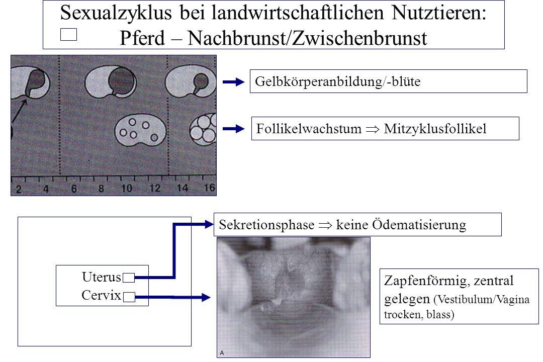 Sexualzyklus bei landwirtschaftlichen Nutztieren: Pferd – Nachbrunst/Zwischenbrunst Follikelwachstum Mitzyklusfollikel Gelbkörperanbildung/-blüte Uter