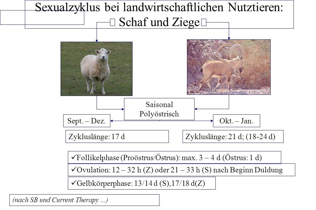 Sexualzyklus bei landwirtschaftlichen Nutztieren: Schaf und Ziege Zykluslänge: 17 d Saisonal Polyöstrisch Zykluslänge: 21 d; (18-24 d) Sept. – Dez.Okt