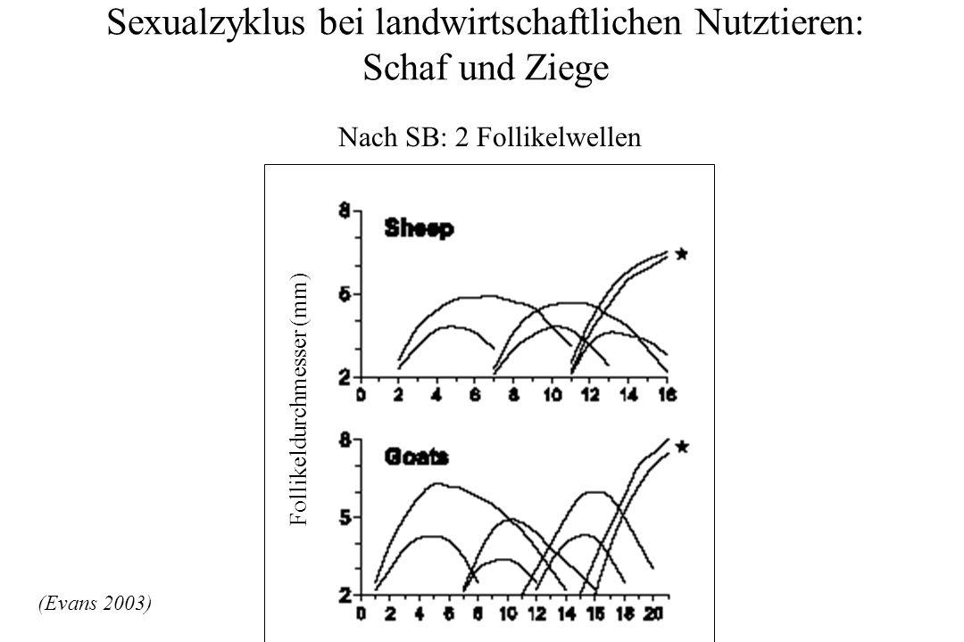 Sexualzyklus bei landwirtschaftlichen Nutztieren: Schaf und Ziege (Evans 2003) Follikeldurchmesser (mm) Nach SB: 2 Follikelwellen
