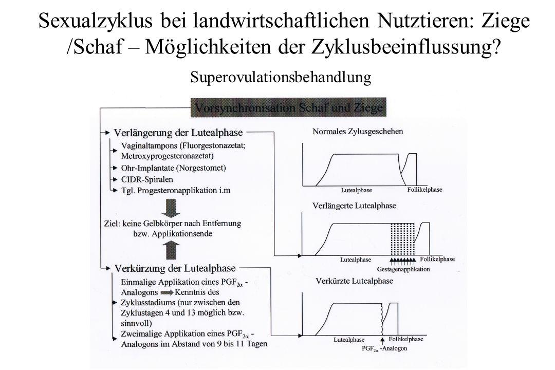 Sexualzyklus bei landwirtschaftlichen Nutztieren: Ziege /Schaf – Möglichkeiten der Zyklusbeeinflussung? Superovulationsbehandlung