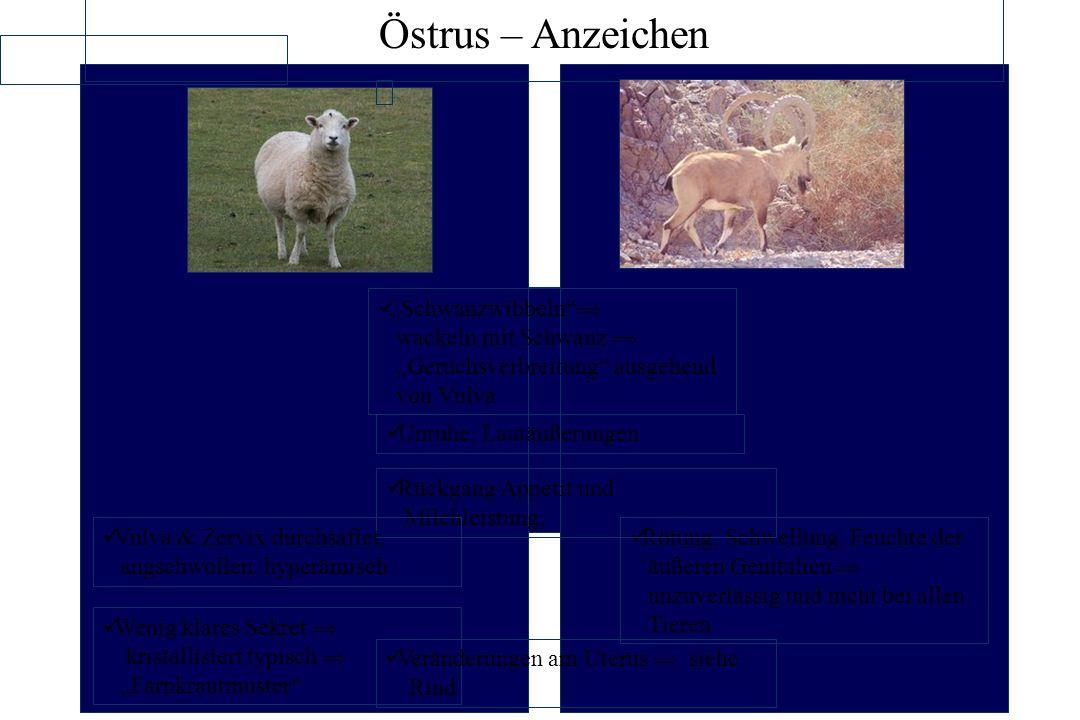 Sexualzyklus bei landwirtschaftlichen Nutztieren: Schaf – Möglichkeiten der Zyklusbeeinflussung.