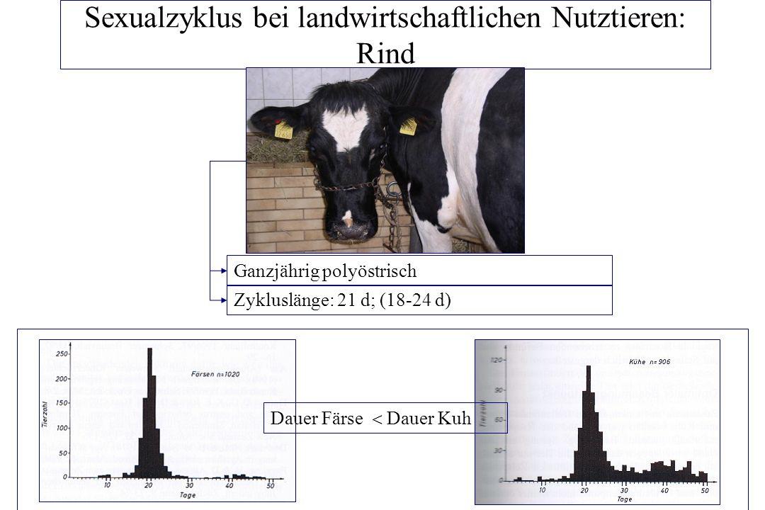Sexualzyklus bei landwirtschaftlichen Nutztieren: Rind Proöstrus: 2-3 d (19.-1.