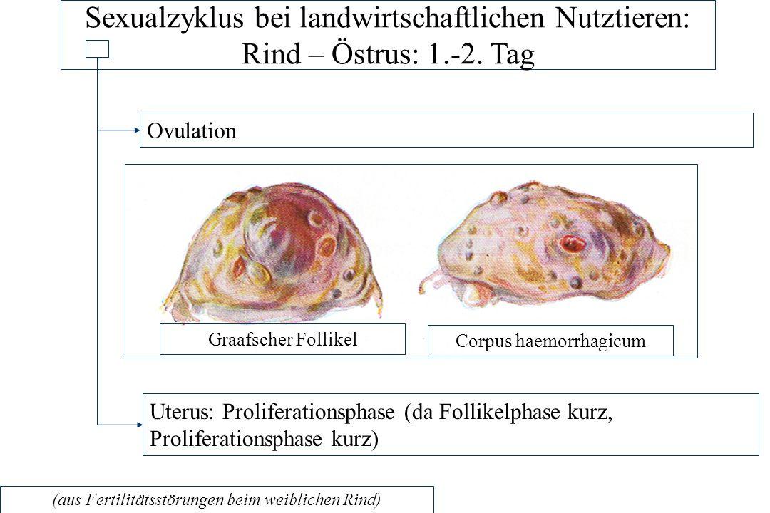 Sexualzyklus bei landwirtschaftlichen Nutztieren: Rind – Östrus: 1.-2.