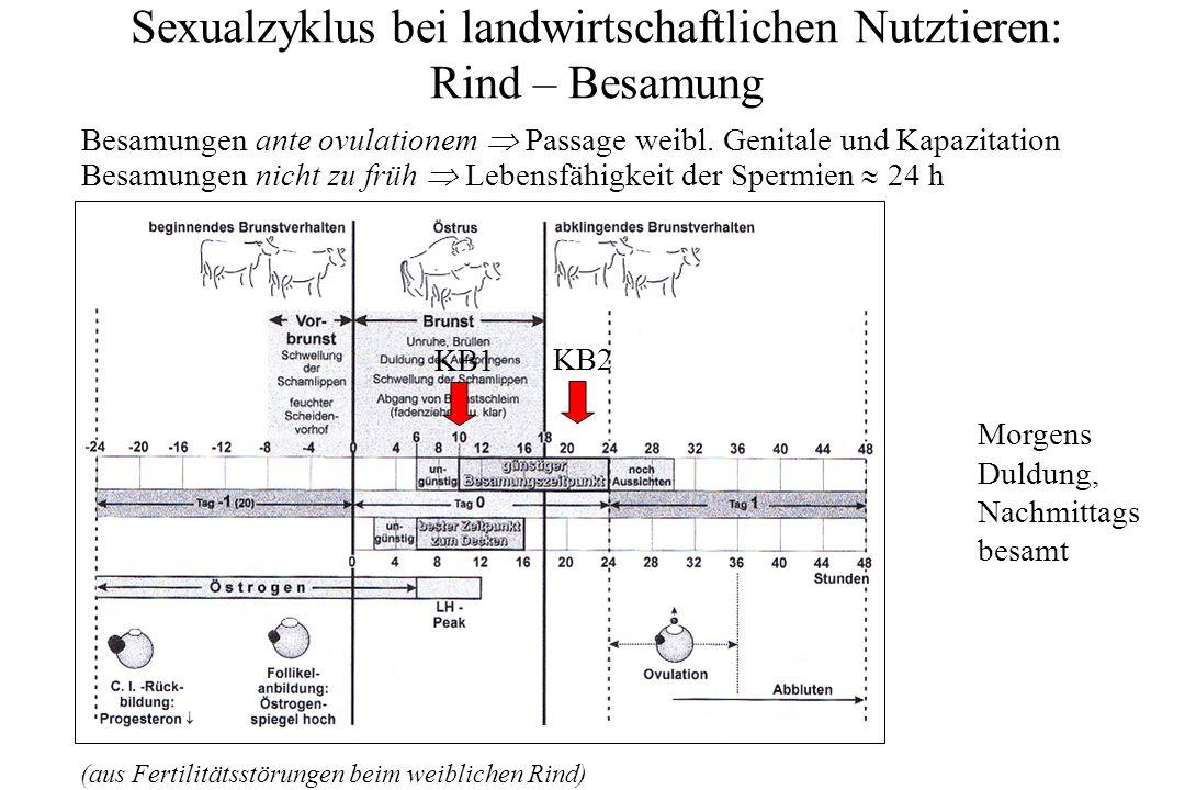 Sexualzyklus bei landwirtschaftlichen Nutztieren: Rind – Metöstrus: 2.-3.