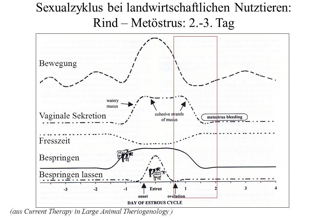 Sexualzyklus bei landwirtschaftlichen Nutztieren: Rind – Diöstrus: 4.-18.