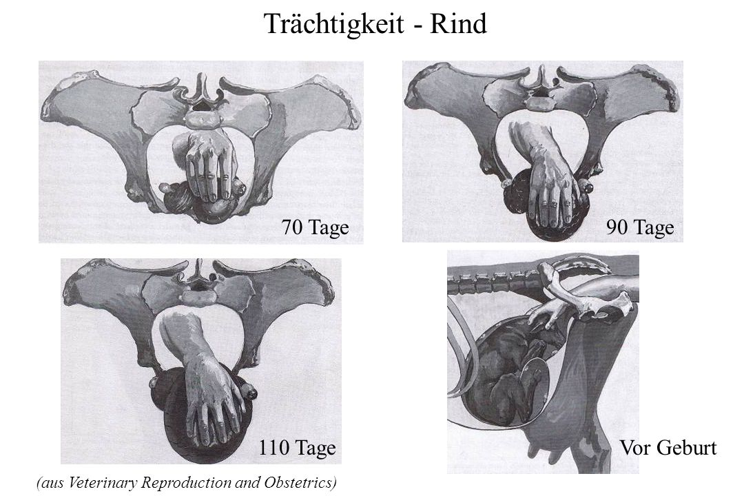 Trächtigkeit - Rind (aus Veterinary Reproduction and Obstetrics) 90 Tage 70 Tage 110 TageVor Geburt