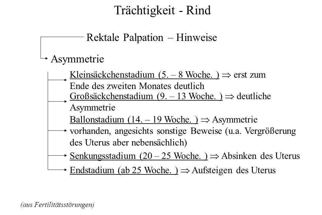 Trächtigkeit - Rind (aus Fertilitätsstörungen) Rektale Palpation – Hinweise Asymmetrie Kleinsäckchenstadium (5. – 8 Woche. ) erst zum Ende des zweiten