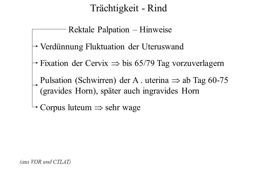 Trächtigkeit - Rind (aus VOR und CTLAT) Rektale Palpation – Hinweise Verdünnung Fluktuation der Uteruswand Fixation der Cervix bis 65/79 Tag vorzuverl