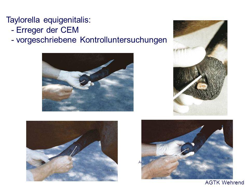 Aus: Busch und Holzmann, 2001 Taylorella equigenitalis: - Erreger der CEM - vorgeschriebene Kontrolluntersuchungen AGTK Wehrend