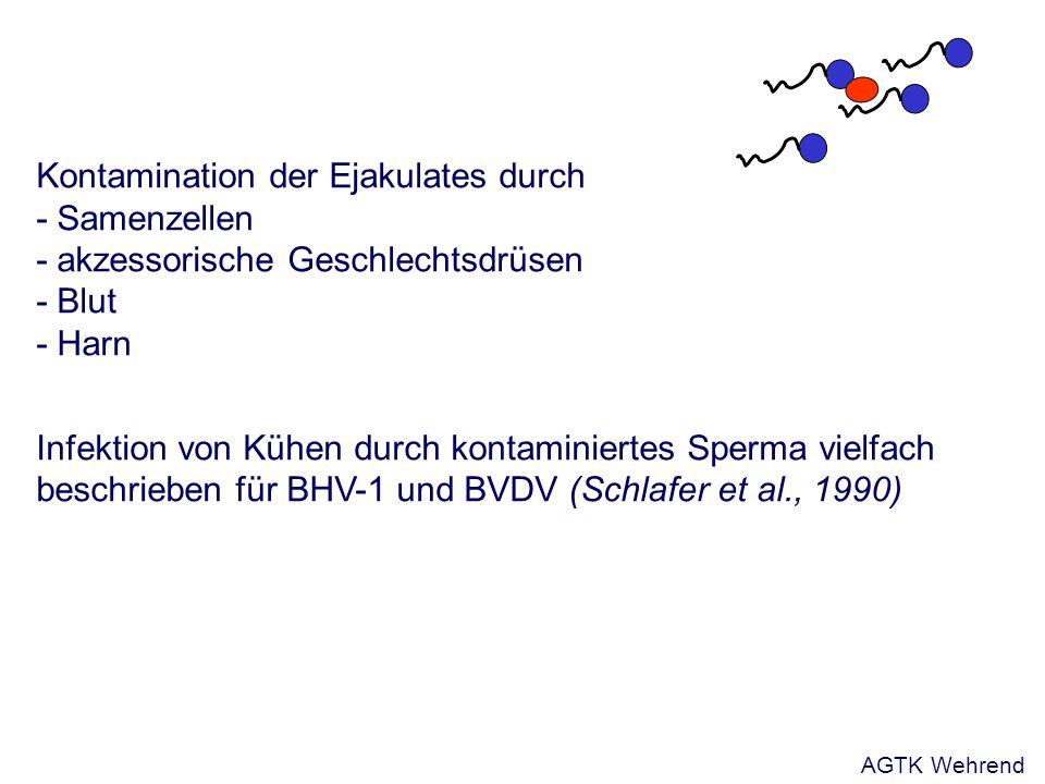 Kontamination der Ejakulates durch - Samenzellen - akzessorische Geschlechtsdrüsen - Blut - Harn Infektion von Kühen durch kontaminiertes Sperma vielfach beschrieben für BHV-1 und BVDV (Schlafer et al., 1990) AGTK Wehrend