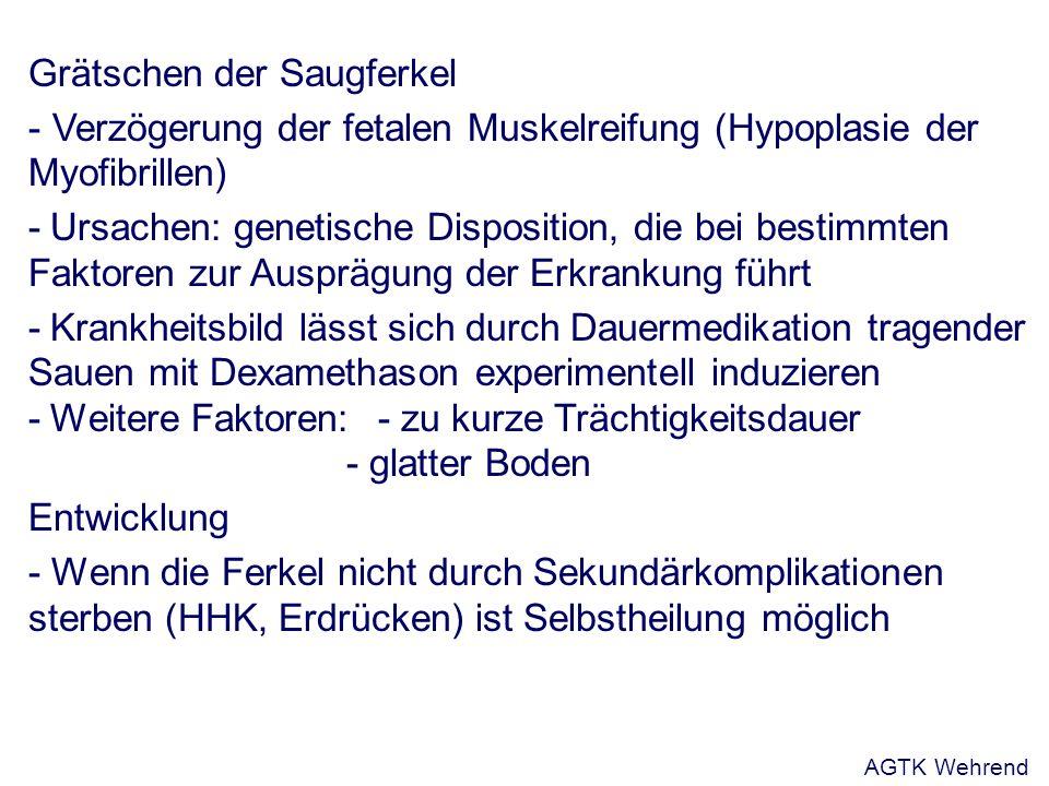 Grätschen der Saugferkel - Verzögerung der fetalen Muskelreifung (Hypoplasie der Myofibrillen) -Ursachen: genetische Disposition, die bei bestimmten Faktoren zur Ausprägung der Erkrankung führt -Krankheitsbild lässt sich durch Dauermedikation tragender Sauen mit Dexamethason experimentell induzieren -Weitere Faktoren: - zu kurze Trächtigkeitsdauer - glatter Boden Entwicklung - Wenn die Ferkel nicht durch Sekundärkomplikationen sterben (HHK, Erdrücken) ist Selbstheilung möglich AGTK Wehrend
