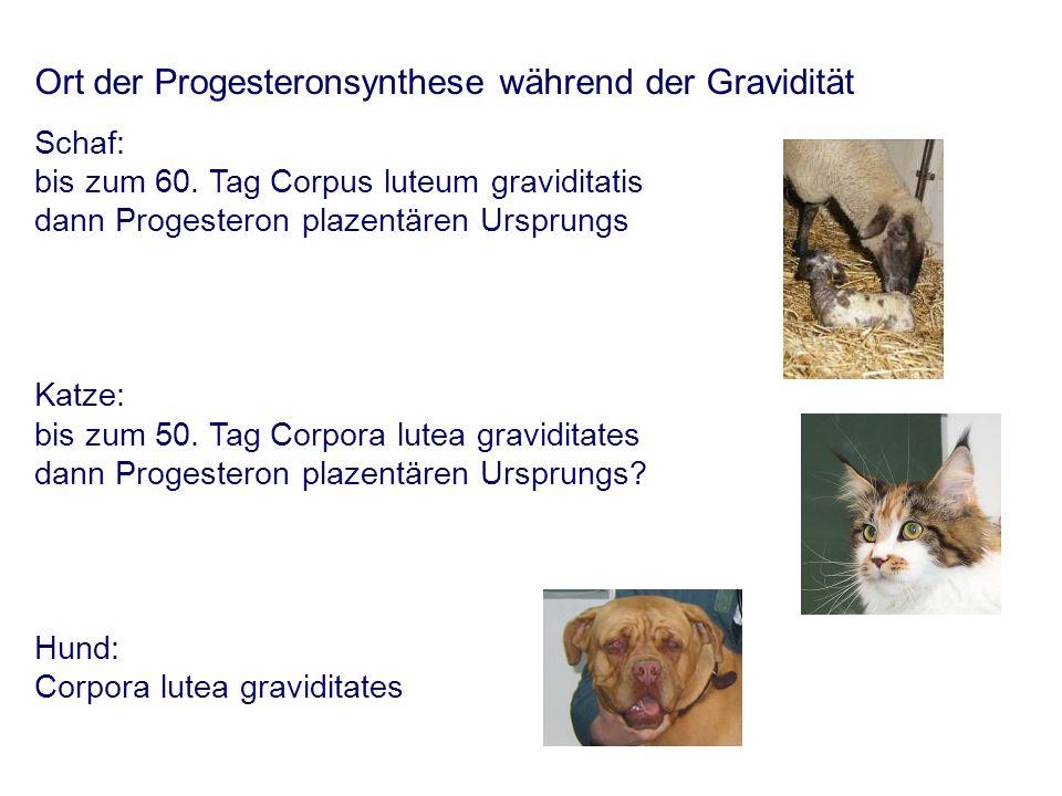Ort der Progesteronsynthese während der Gravidität Schaf: bis zum 60.
