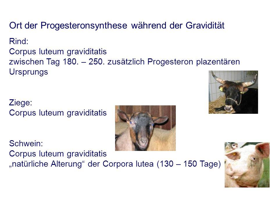 Ort der Progesteronsynthese während der Gravidität Rind: Corpus luteum graviditatis zwischen Tag 180.