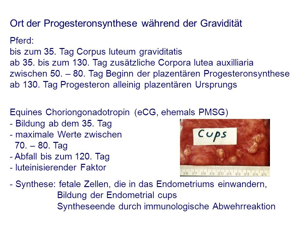 Ort der Progesteronsynthese während der Gravidität Pferd: bis zum 35.