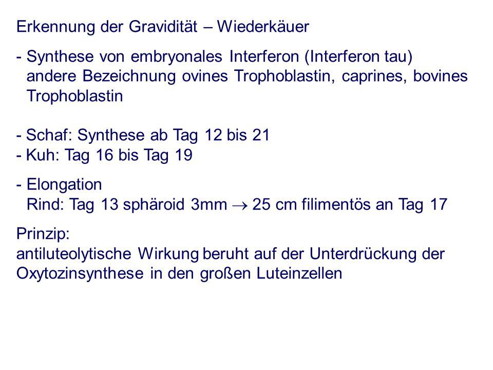 Erkennung der Gravidität – Wiederkäuer - Synthese von embryonales Interferon (Interferon tau) andere Bezeichnung ovines Trophoblastin, caprines, bovines Trophoblastin - Schaf: Synthese ab Tag 12 bis 21 - Kuh: Tag 16 bis Tag 19 - Elongation Rind: Tag 13 sphäroid 3mm 25 cm filimentös an Tag 17 Prinzip: antiluteolytische Wirkung beruht auf der Unterdrückung der Oxytozinsynthese in den großen Luteinzellen