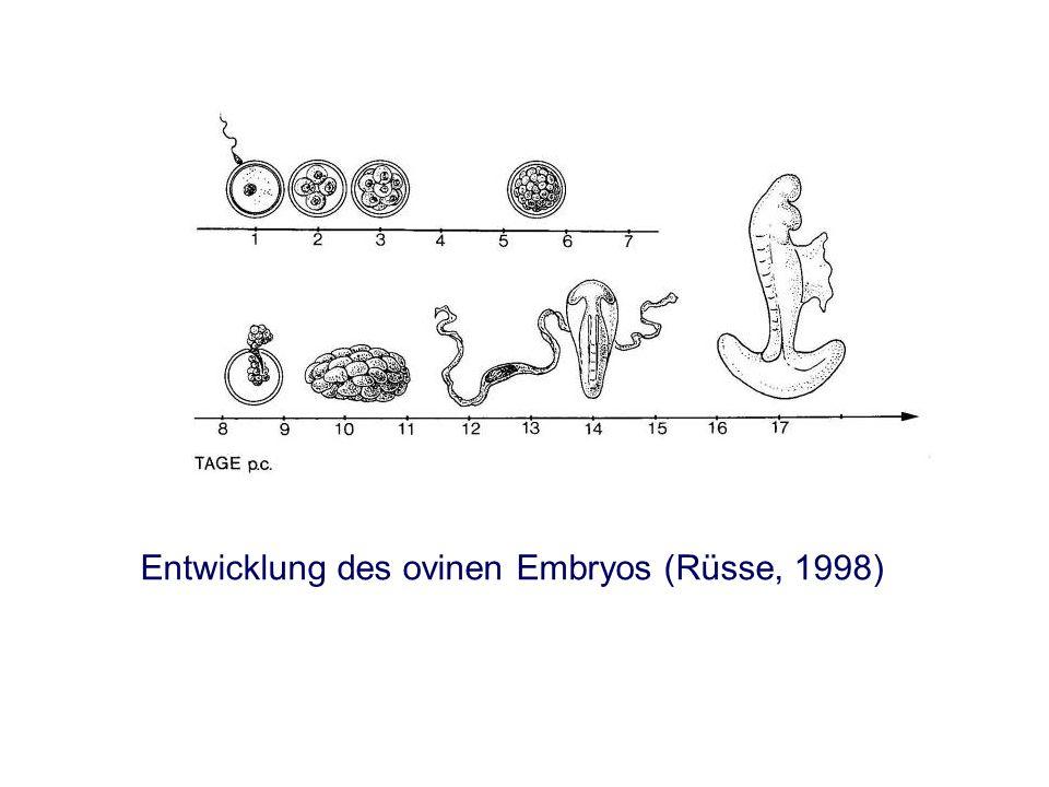 Entwicklung des ovinen Embryos (Rüsse, 1998)
