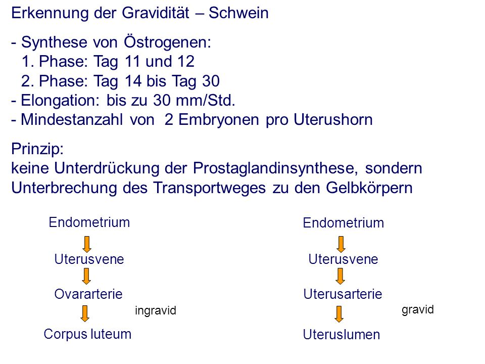 Erkennung der Gravidität – Schwein - Synthese von Östrogenen: 1.