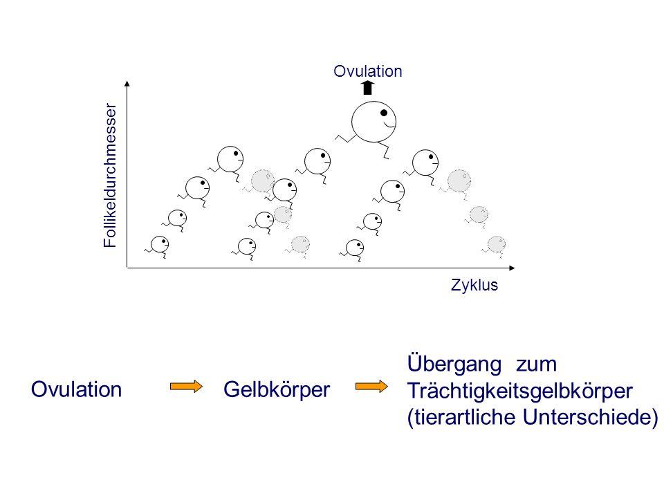 Ovulation Follikeldurchmesser Zyklus Übergang zum Trächtigkeitsgelbkörper (tierartliche Unterschiede) Gelbkörper