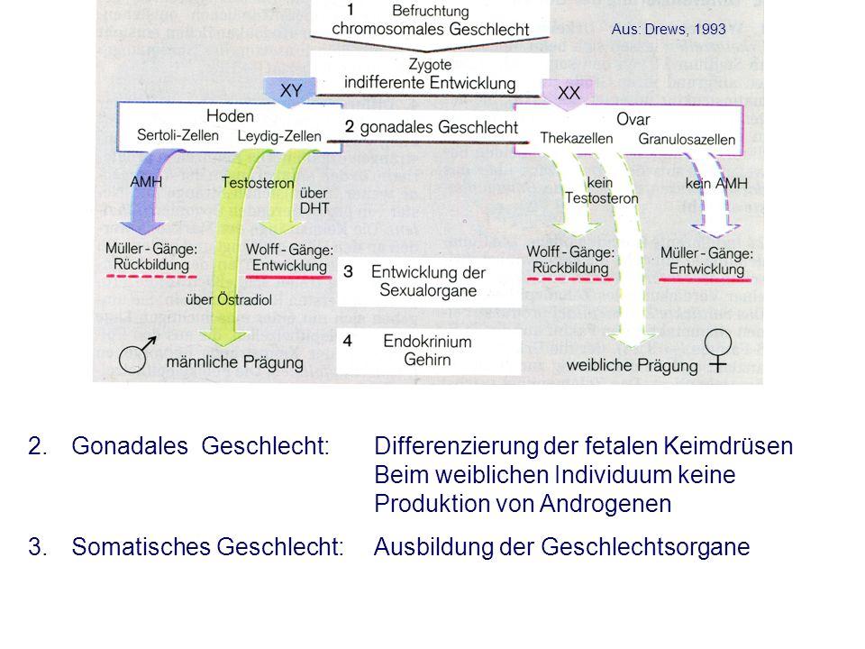2.Gonadales Geschlecht: Differenzierung der fetalen Keimdrüsen Beim weiblichen Individuum keine Produktion von Androgenen 3.Somatisches Geschlecht:Ausbildung der Geschlechtsorgane Aus: Drews, 1993