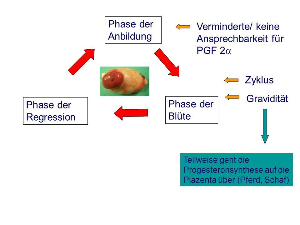Zyklus Phase der Anbildung Phase der Blüte Phase der Regression Gravidität Verminderte/ keine Ansprechbarkeit für PGF 2 Teilweise geht die Progesteronsynthese auf die Plazenta über (Pferd, Schaf)