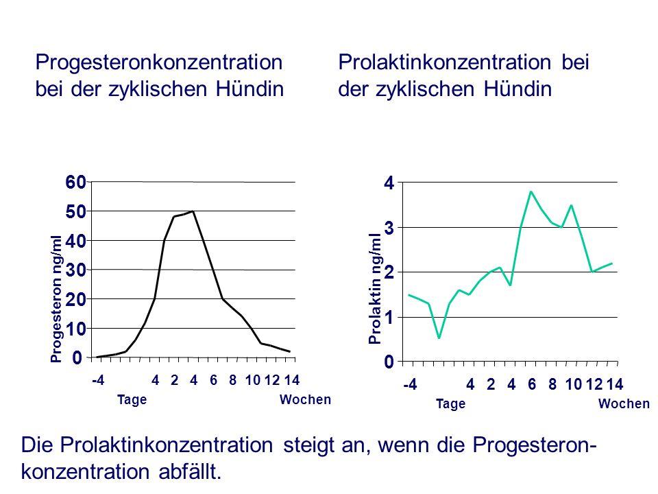 Progesteronkonzentration bei der zyklischen Hündin Prolaktinkonzentration bei der zyklischen Hündin 0 10 20 30 40 50 60 -442468101214 Tage Wochen Progesteron ng/ml 0 1 2 3 4 -442468101214 Tage Wochen Prolaktin ng/ml Die Prolaktinkonzentration steigt an, wenn die Progesteron- konzentration abfällt.