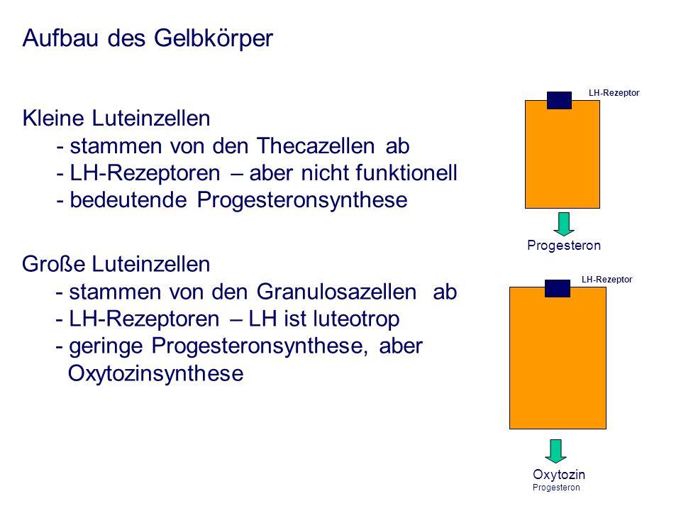 Aufbau des Gelbkörper Kleine Luteinzellen - stammen von den Thecazellen ab - LH-Rezeptoren – aber nicht funktionell - bedeutende Progesteronsynthese Große Luteinzellen - stammen von den Granulosazellen ab - LH-Rezeptoren – LH ist luteotrop - geringe Progesteronsynthese, aber Oxytozinsynthese LH-Rezeptor Progesteron LH-Rezeptor Oxytozin Progesteron