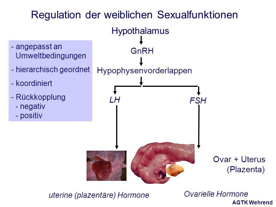 AGTK Wehrend Regulation der weiblichen Sexualfunktionen Ovar + Uterus (Plazenta) - angepasst an Umweltbedingungen - hierarchisch geordnet - koordiniert - Rückkopplung - negativ - positiv Hypothalamus Hypophysenvorderlappen GnRH LH FSH Ovarielle Hormone uterine (plazentäre) Hormone