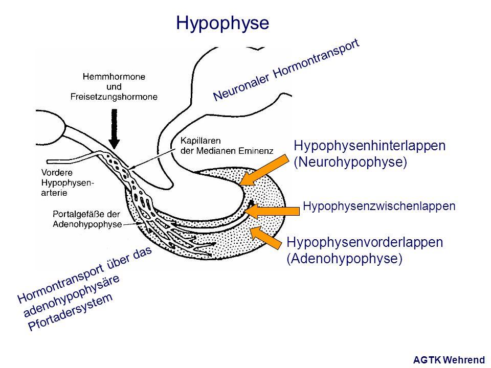 AGTK Wehrend Hypophyse Hypophysenvorderlappen (Adenohypophyse) Hypophysenhinterlappen (Neurohypophyse) Hypophysenzwischenlappen Neuronaler Hormontransport Hormontransport über das adenohypophysäre Pfortadersystem