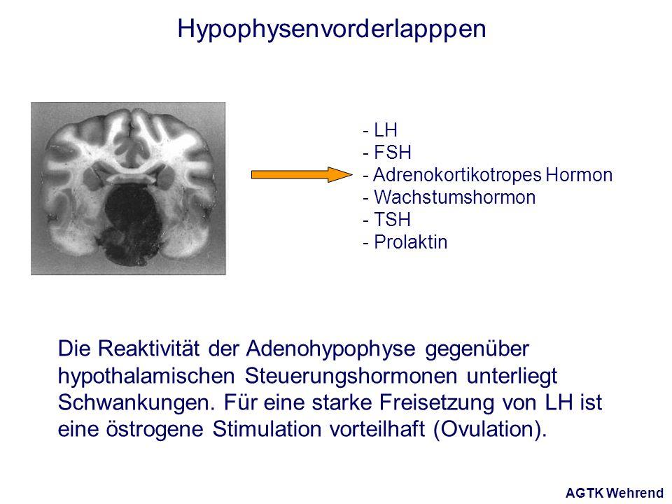 AGTK Wehrend Hypophysenvorderlapppen - LH - FSH - Adrenokortikotropes Hormon - Wachstumshormon - TSH - Prolaktin Die Reaktivität der Adenohypophyse gegenüber hypothalamischen Steuerungshormonen unterliegt Schwankungen.