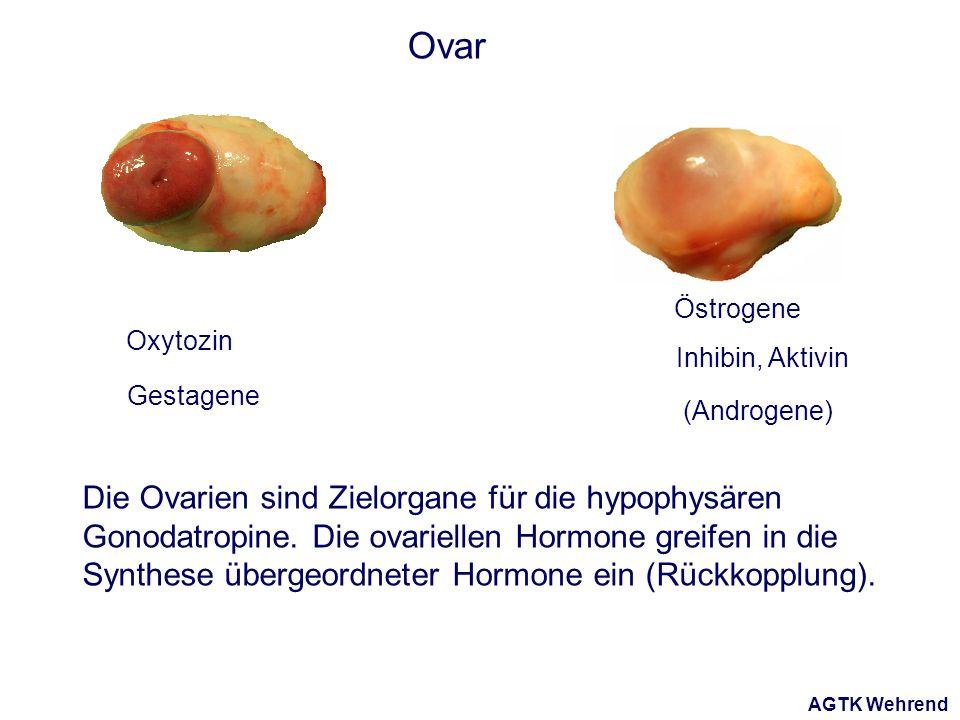 AGTK Wehrend Ovar Östrogene Die Ovarien sind Zielorgane für die hypophysären Gonodatropine. Die ovariellen Hormone greifen in die Synthese übergeordne