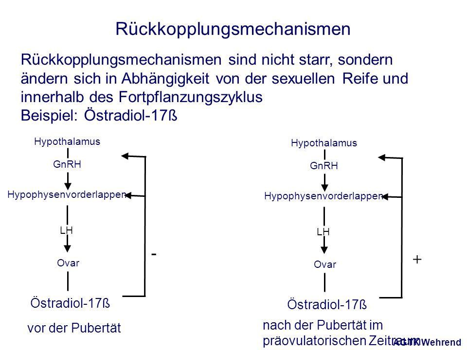 AGTK Wehrend Rückkopplungsmechanismen Rückkopplungsmechanismen sind nicht starr, sondern ändern sich in Abhängigkeit von der sexuellen Reife und innerhalb des Fortpflanzungszyklus Beispiel: Östradiol-17ß + Hypophysenvorderlappen Hypothalamus Ovar LH GnRH Östradiol-17ß Hypophysenvorderlappen Hypothalamus Ovar LH GnRH Östradiol-17ß - vor der Pubertät nach der Pubertät im präovulatorischen Zeitraum