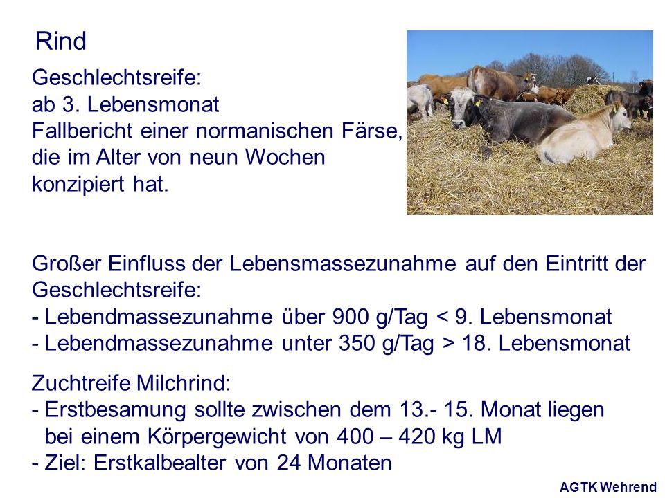 AGTK Wehrend Rind Geschlechtsreife: ab 3. Lebensmonat Fallbericht einer normanischen Färse, die im Alter von neun Wochen konzipiert hat. Großer Einflu