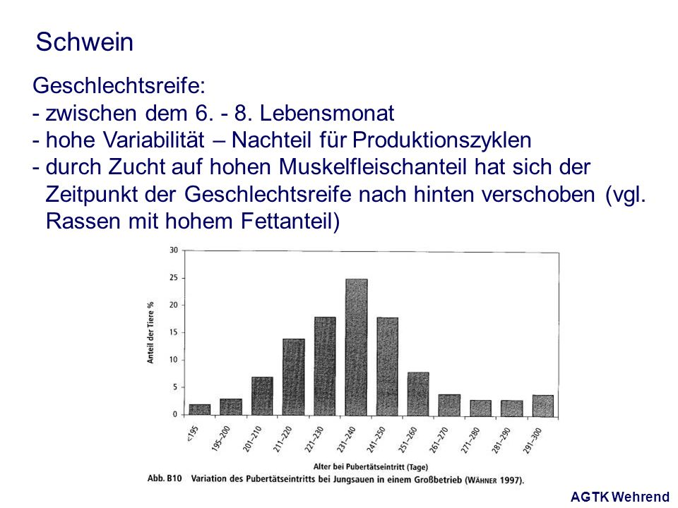 AGTK Wehrend Schwein Geschlechtsreife: - zwischen dem 6. - 8. Lebensmonat - hohe Variabilität – Nachteil für Produktionszyklen - durch Zucht auf hohen