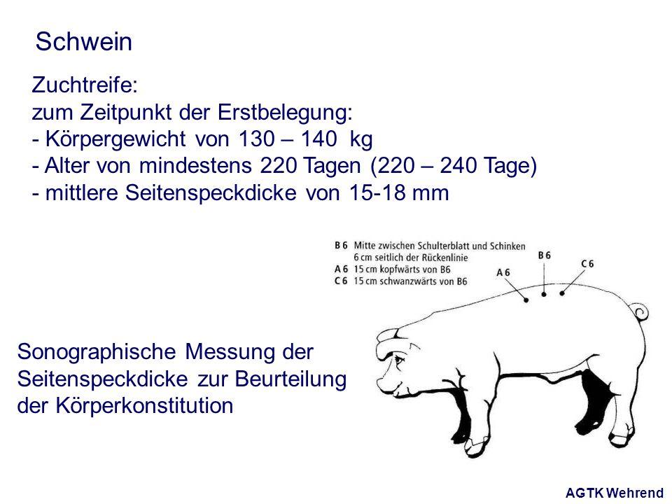 AGTK Wehrend Schwein Zuchtreife: zum Zeitpunkt der Erstbelegung: - Körpergewicht von 130 – 140 kg - Alter von mindestens 220 Tagen (220 – 240 Tage) - mittlere Seitenspeckdicke von 15-18 mm Sonographische Messung der Seitenspeckdicke zur Beurteilung der Körperkonstitution