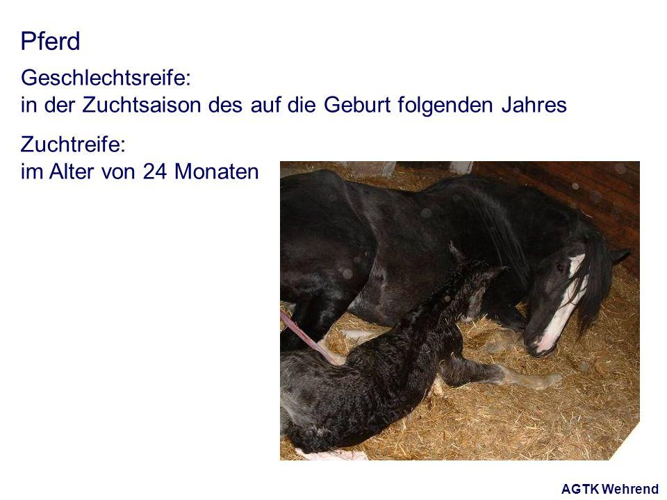AGTK Wehrend Pferd Geschlechtsreife: in der Zuchtsaison des auf die Geburt folgenden Jahres Zuchtreife: im Alter von 24 Monaten