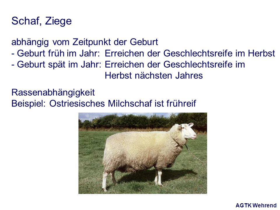 AGTK Wehrend Schaf, Ziege abhängig vom Zeitpunkt der Geburt - Geburt früh im Jahr: Erreichen der Geschlechtsreife im Herbst - Geburt spät im Jahr: Erreichen der Geschlechtsreife im Herbst nächsten Jahres Rassenabhängigkeit Beispiel: Ostriesisches Milchschaf ist frühreif
