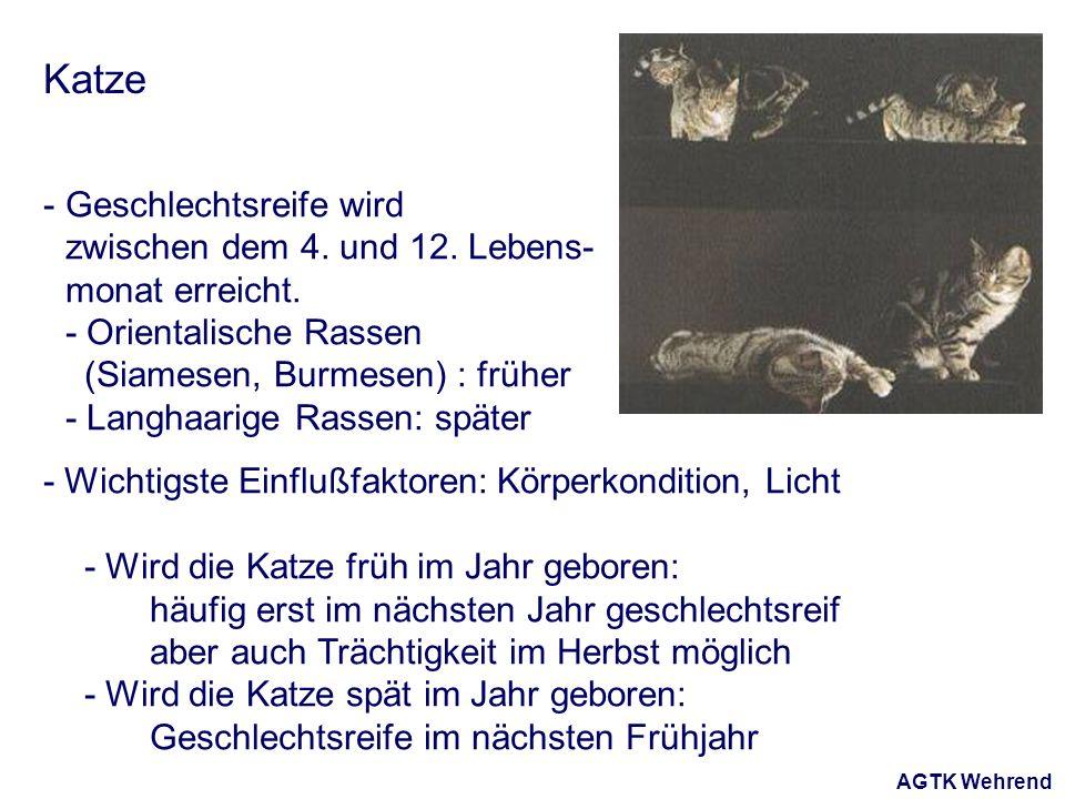AGTK Wehrend Katze - Geschlechtsreife wird zwischen dem 4. und 12. Lebens- monat erreicht. - Orientalische Rassen (Siamesen, Burmesen) : früher - Lang
