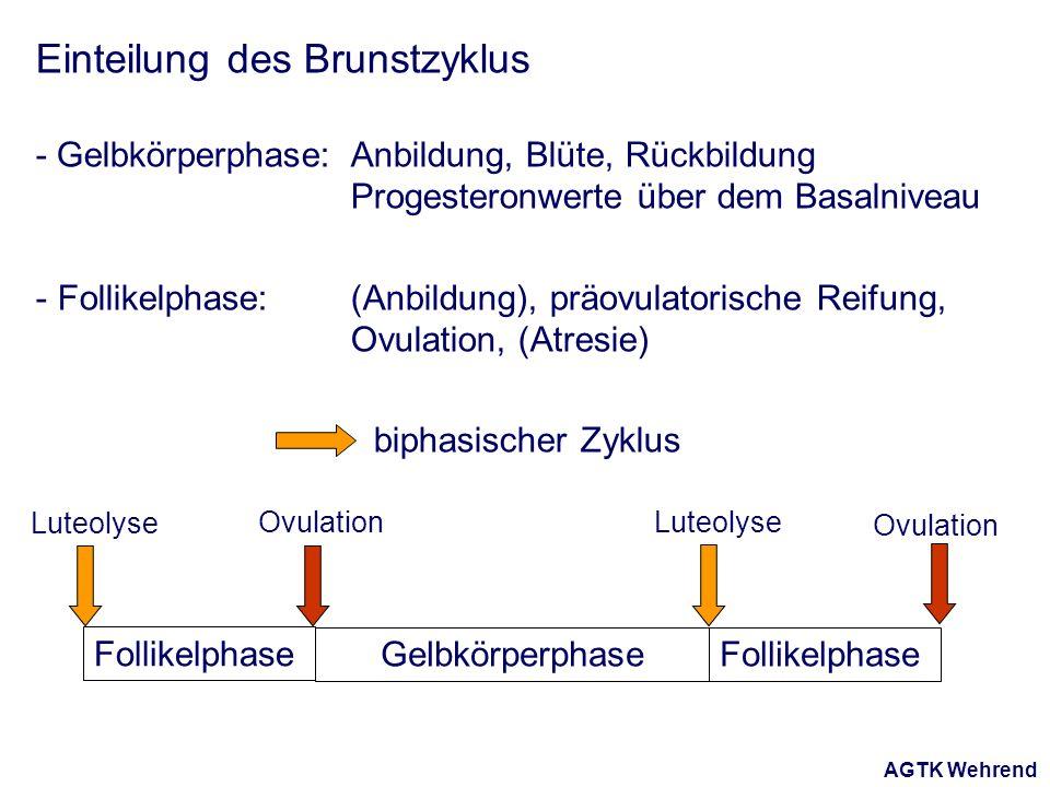 AGTK Wehrend Einteilung des Brunstzyklus - Gelbkörperphase: Anbildung, Blüte, Rückbildung Progesteronwerte über dem Basalniveau - Follikelphase: (Anbildung), präovulatorische Reifung, Ovulation, (Atresie) biphasischer Zyklus Follikelphase GelbkörperphaseFollikelphase Ovulation Luteolyse Ovulation Luteolyse