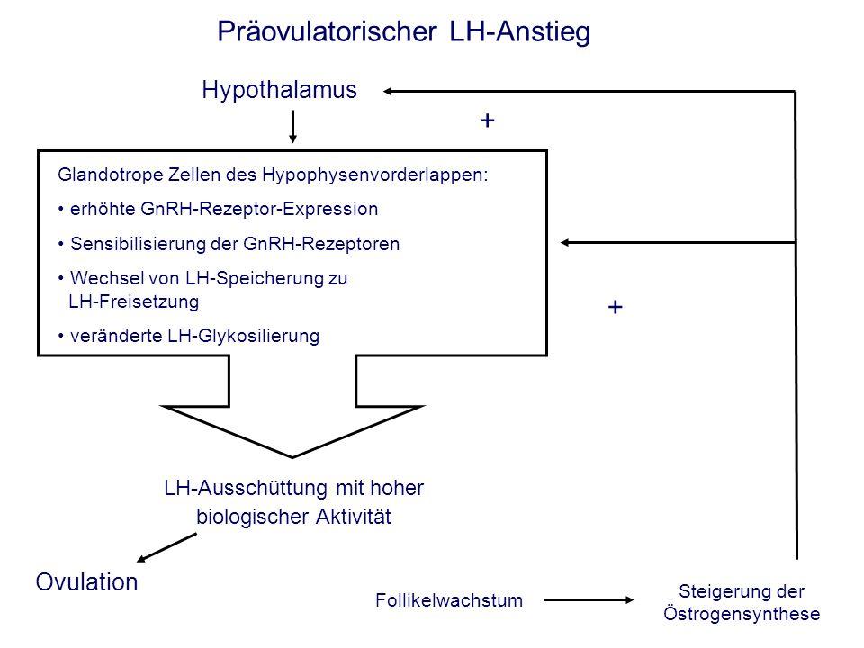 Präovulatorischer LH-Anstieg Hypothalamus Follikelwachstum Glandotrope Zellen des Hypophysenvorderlappen: erhöhte GnRH-Rezeptor-Expression Sensibilisierung der GnRH-Rezeptoren Wechsel von LH-Speicherung zu LH-Freisetzung veränderte LH-Glykosilierung Steigerung der Östrogensynthese + + LH-Ausschüttung mit hoher biologischer Aktivität Ovulation