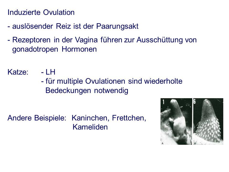 Induzierte Ovulation -auslösender Reiz ist der Paarungsakt - Rezeptoren in der Vagina führen zur Ausschüttung von gonadotropen Hormonen Katze: - LH - für multiple Ovulationen sind wiederholte Bedeckungen notwendig Andere Beispiele: Kaninchen, Frettchen, Kameliden