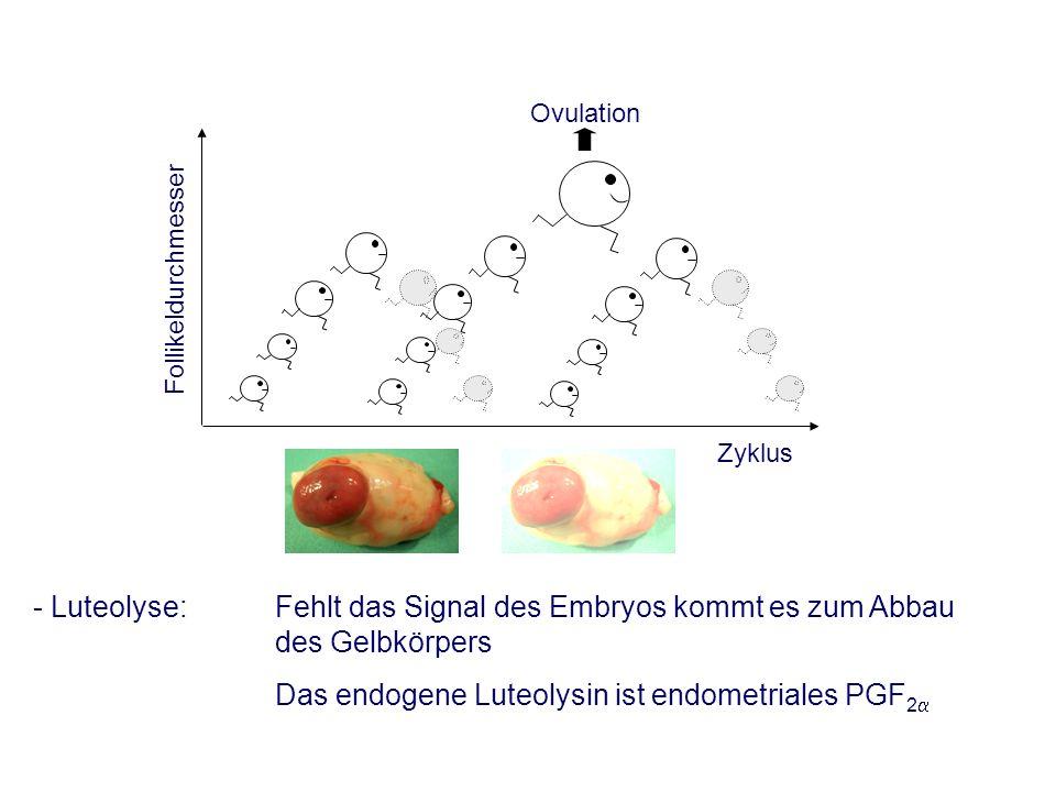 - Luteolyse: Fehlt das Signal des Embryos kommt es zum Abbau des Gelbkörpers Das endogene Luteolysin ist endometriales PGF 2 Ovulation Follikeldurchmesser Zyklus