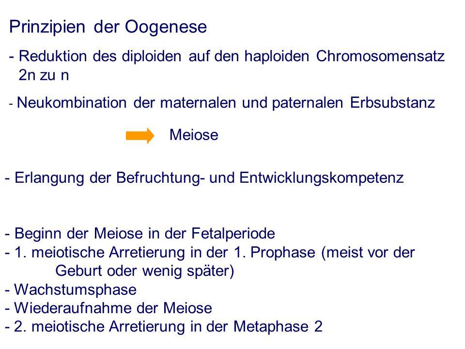 Prinzipien der Oogenese - Reduktion des diploiden auf den haploiden Chromosomensatz 2n zu n - Neukombination der maternalen und paternalen Erbsubstanz Meiose - Erlangung der Befruchtung- und Entwicklungskompetenz - Beginn der Meiose in der Fetalperiode - 1.