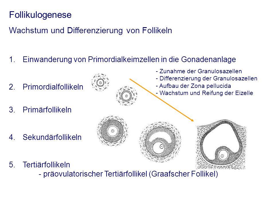 Follikulogenese Wachstum und Differenzierung von Follikeln 1.Einwanderung von Primordialkeimzellen in die Gonadenanlage 2.Primordialfollikeln 3.Primärfollikeln 4.Sekundärfollikeln 5.