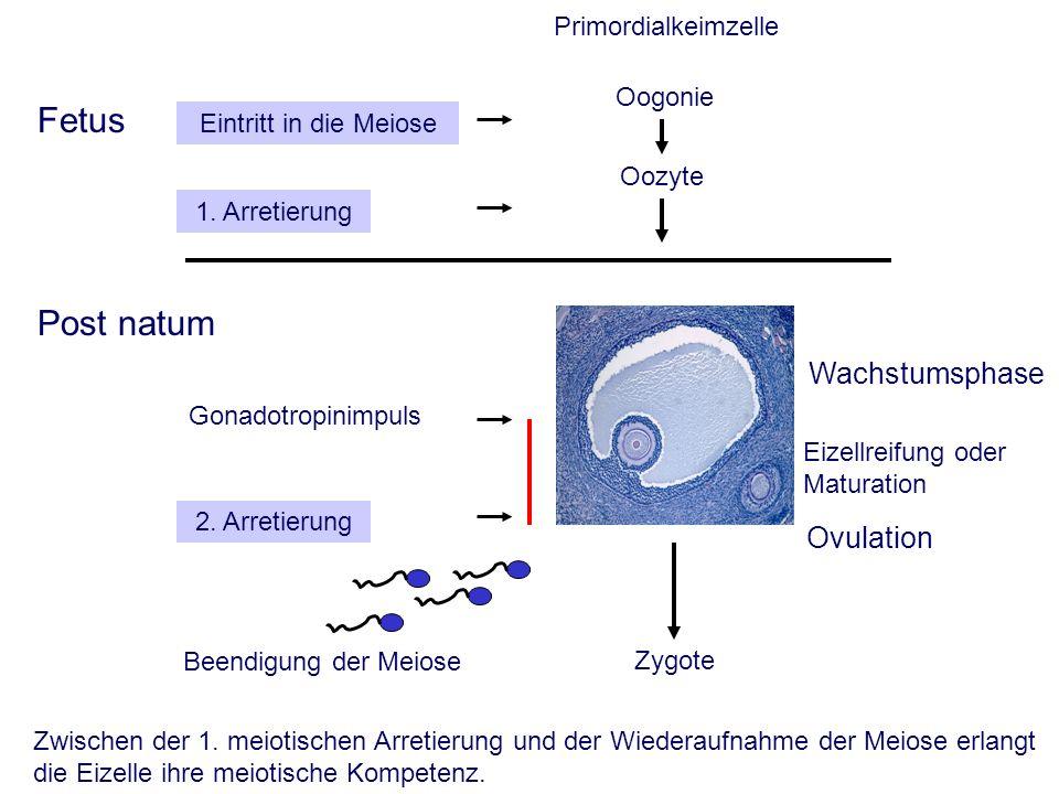 Eizellreifung oder Maturation Primordialkeimzelle Fetus Post natum Oogonie Oozyte Wachstumsphase Ovulation Zygote Beendigung der Meiose Eintritt in die Meiose 1.